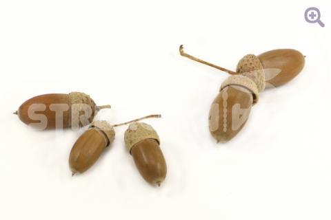 Желудь натуральный (d=14-18мм, длина 27-35мм)