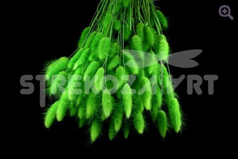Лагурус, цвет: салатовый