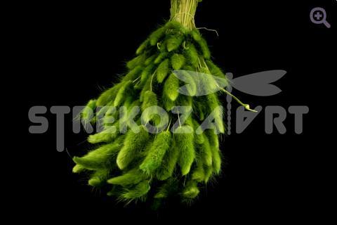 Лагурус, цвет: зеленый